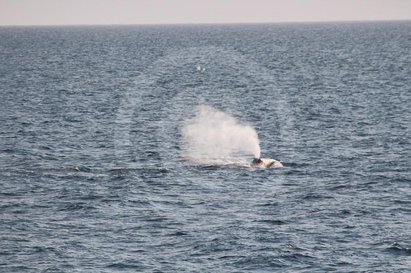 (1082) Les baleines du Groenland