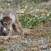 (2200) 6.Prédation d'un nid d'oie des neiges par le renard arctique