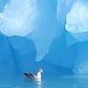 (2155) Northern fulmar in front an iceberg in Kongsfjorden