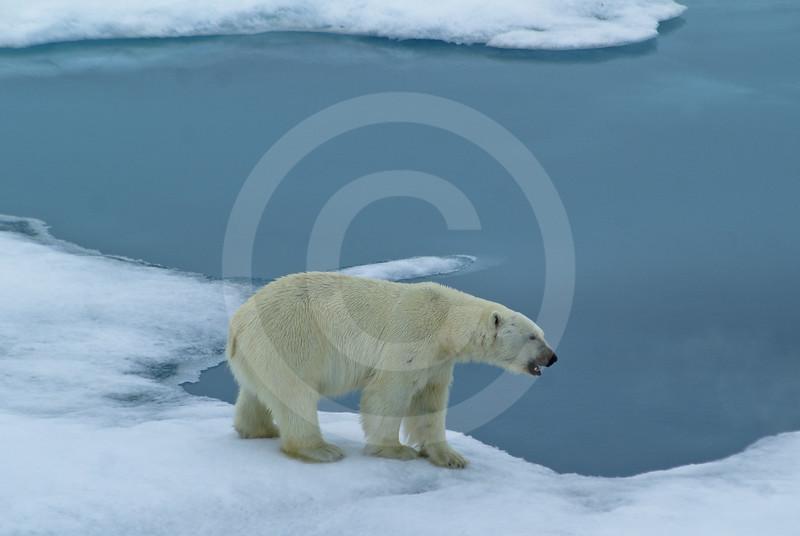 (614) Polar bear