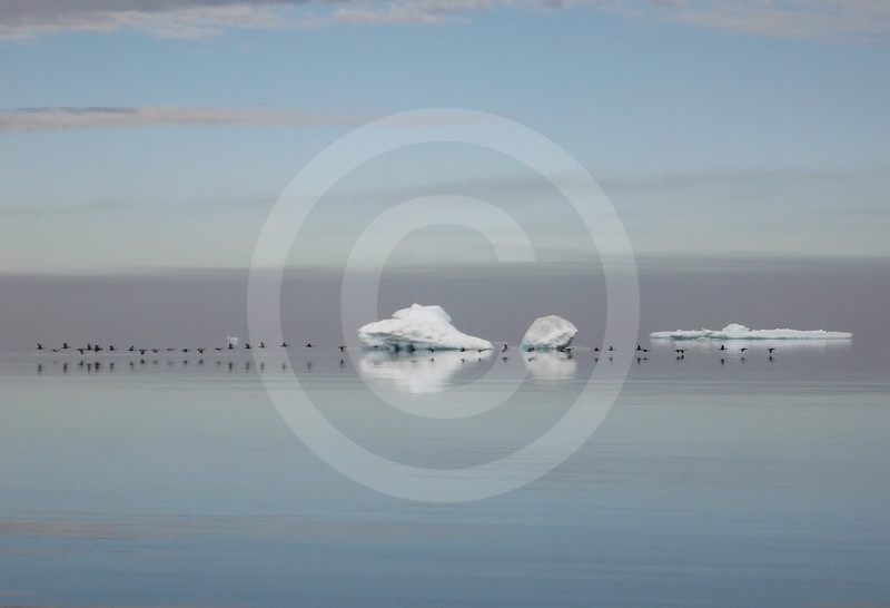 (187) Seabirds and ice in Lancaster Sound, Nunavut