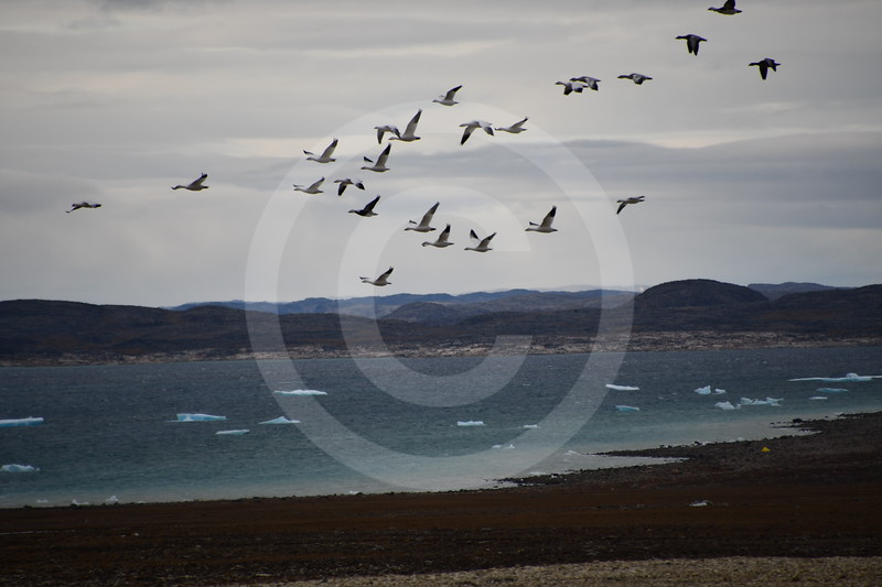(2177) Snow geese on their long voyage to the South over Arctic tundra landscapes near Igloolik