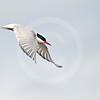 (348) Arctic Tern (Sterna paradisaea) in full flight