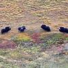(1076) Les boeufs musqués