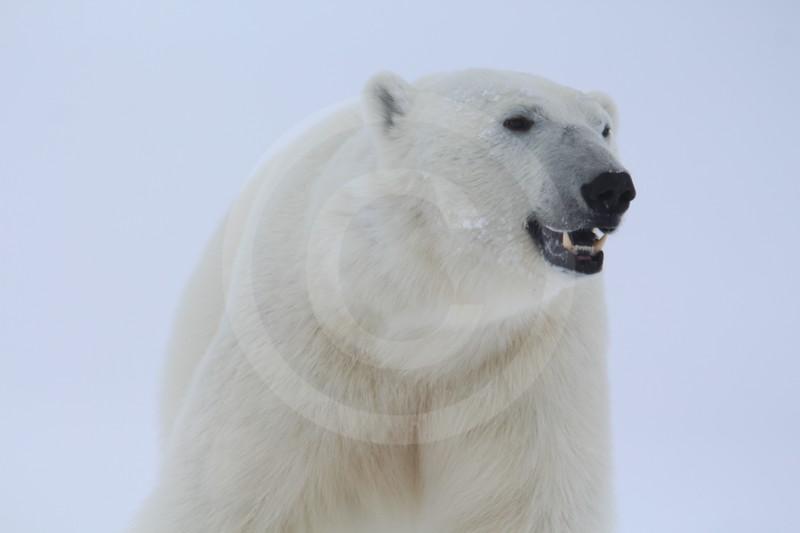(1064) L'ours marin. Île Beliy, mer de Kara