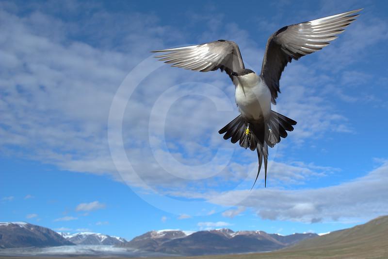 (1000) Labbe à longue queue protégeant son nid à l' île Bylot