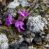 (1061) Oxytropis Arctica