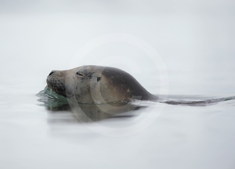 (2157) Harbour seal peacefully swimming in Kongsfjorden