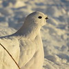 (2380) Willow Ptarmigan in Yellowknife, NT