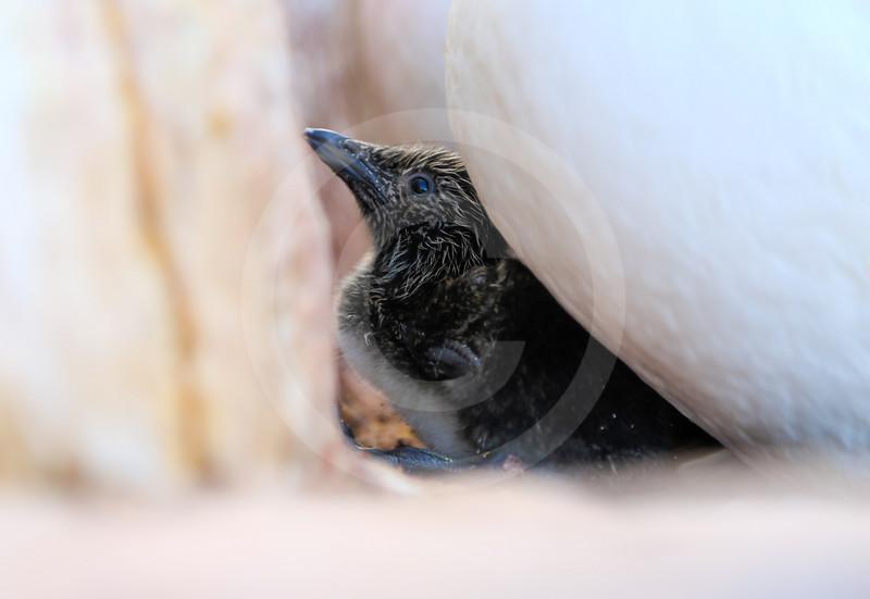 (2333) Murre Chick