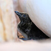 (2333) Murre Chick