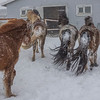(2317) Horses seeking shelter from a snowstorm