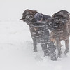 (2315) Farmer attending his horses in a snow storm