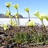 (2385) Arctic poppy (Igutsat niqingit, Papaver radicatum)