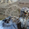 (1012) Adult Rough-Legged Buzzard