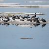 (1073) Les eiders de Steller et les eiders royals. île Shokalskogo, mer de Kara