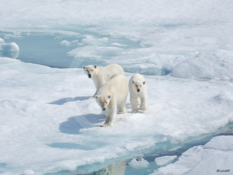 (2062) Female polar bear with her two children