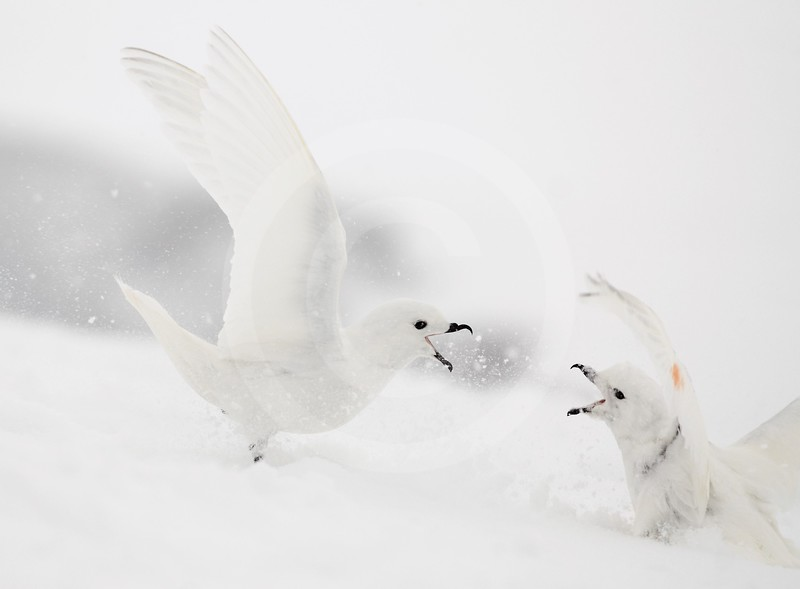 (2147) Snow petrels fighting at the beginning of the breeding season at Svarthamaren