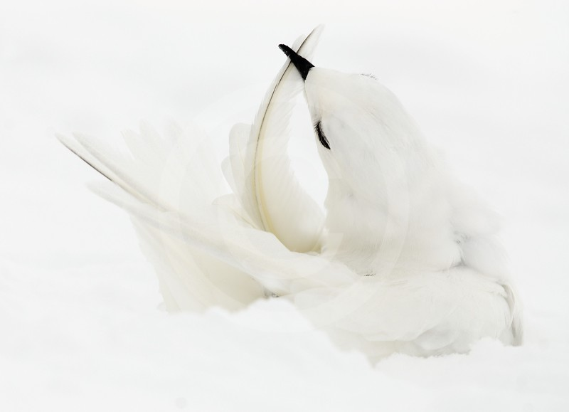 (2151) Snow petrel cleaning its feathers in snow