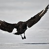 (2145) South polar skua landing on a glacier in Antarctica
