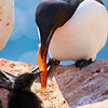 (2334) Murre feeding chick