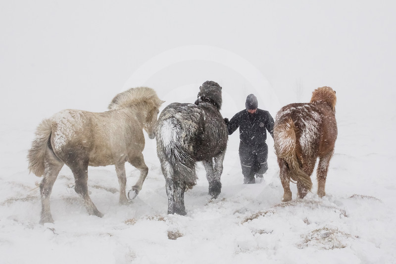 (2316) Farmer attending his horses in a snowstorm