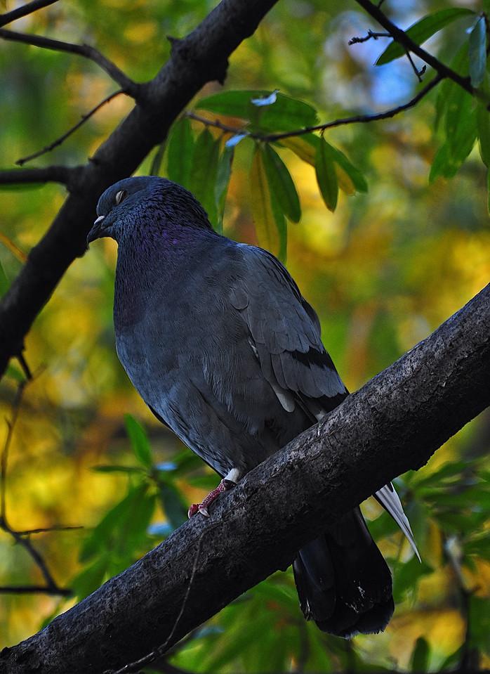 Sleeping on the job, NYC's finest.. Pigeon