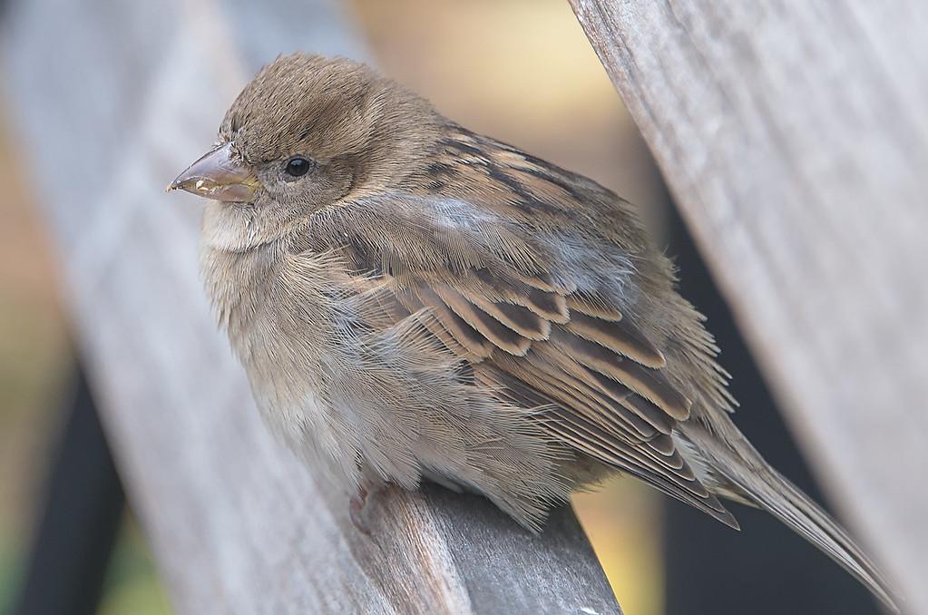 City Sparrow