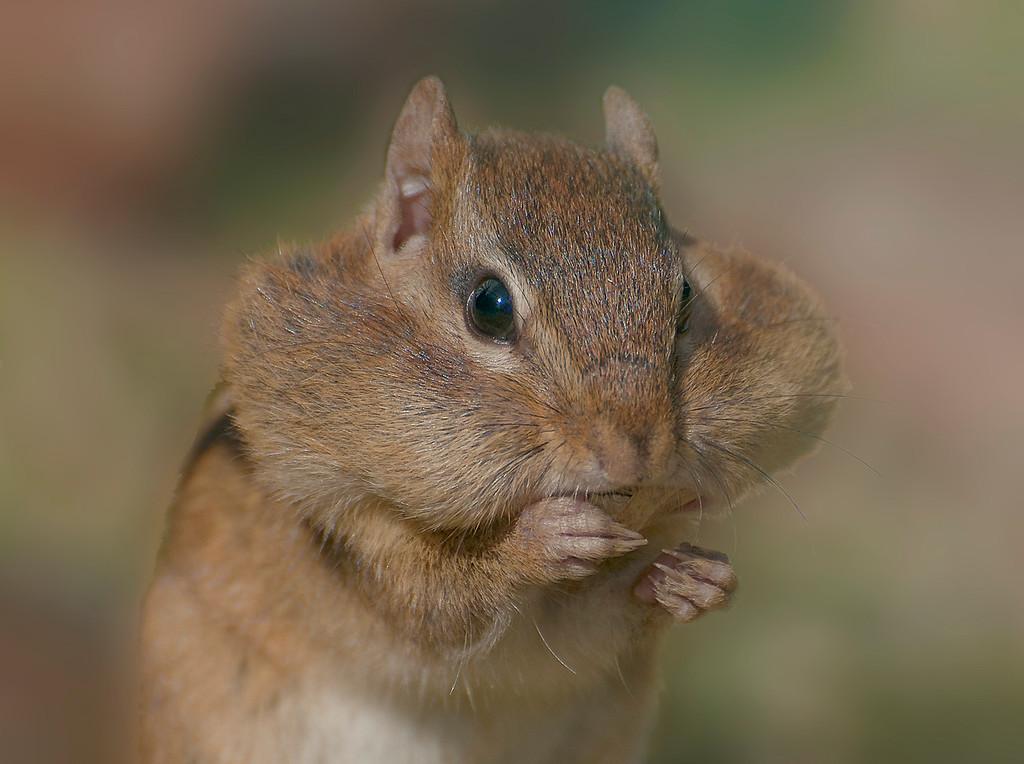 Chipmunk gathering food for winter.