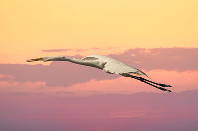 Great Egret at sunset, Dinner bell.