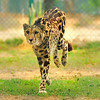 The King Cheetah