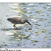 Straited Heron
