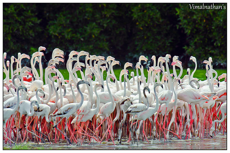 Flamingos - Birds in UAE
