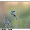 Bee - Eater