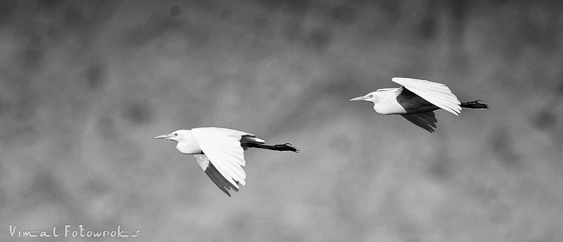 Birds in UAE, Photography by Vimal nathan