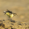 Birds, in, UAE, by, Vimalnathan