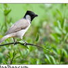 White Cheeked Bulbul; Al Mamzar; United Arab Emirates;