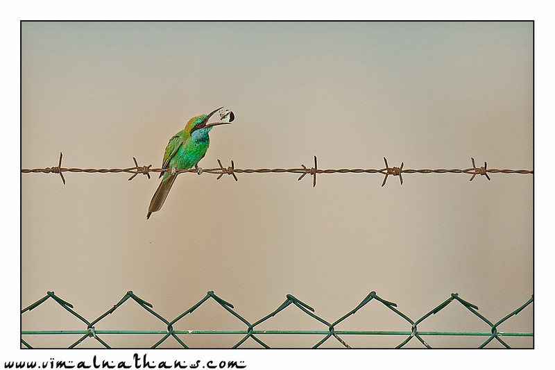 Bee Eater @ Dubai, United Arab Emirates
