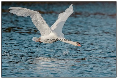 Mute Swan in Flight