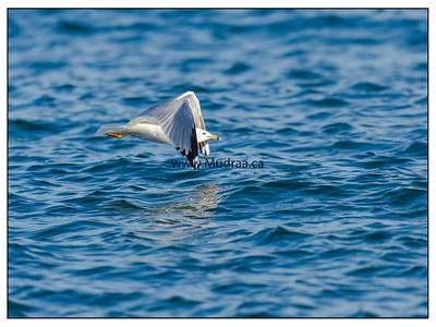 Ring Billed Gull