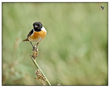 African Stone Chat