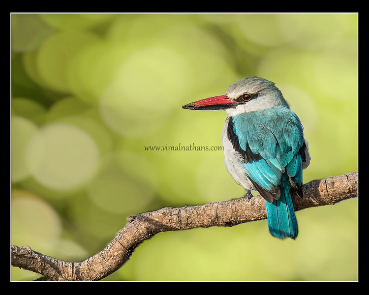 Woodland King Fisher