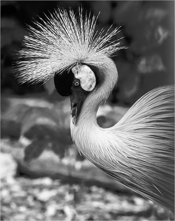 An Endangered Crested Crane