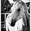 Horse Photography by Vimalnathan, Dubai UAE