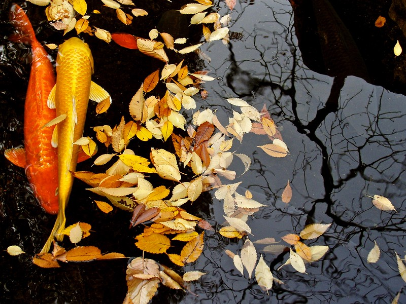 an autumn dance of koi