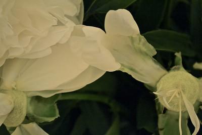 Death dance of a rose
