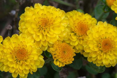 flowers-6536