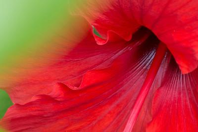 hibiscus-6260