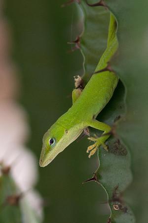 gecko-6296