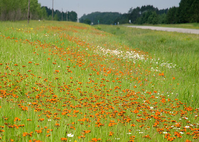 Highway 1 east of Effie, MN devil's-paintbrush, grim-the-collier, orange hawkweed, red daisy